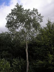 meditation tree 2